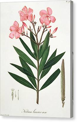 Oleander From 'phytographie Medicale' By Joseph Roques  Canvas Print by L F J Hoquart