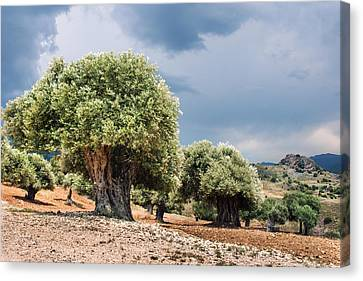 Olive Grove Canvas Print