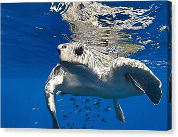 Olive Ridley Turtle Canvas Print by Christopher Swann