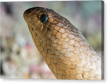 Olive Sea Snake Head Canvas Print by Louise Murray