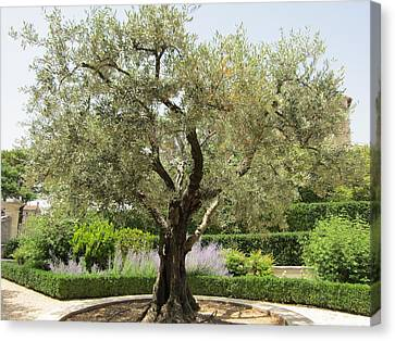 Olive Tree Canvas Print by Pema Hou