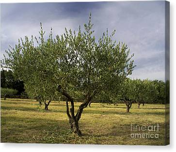 Olive Tree. Provence. France Canvas Print