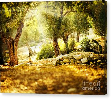 Canvas Print featuring the photograph Olive Trees by Boon Mee