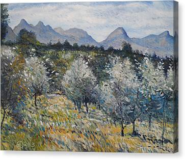 Olives At Diemersfontein Cape South Africa. Canvas Print by Enver Larney