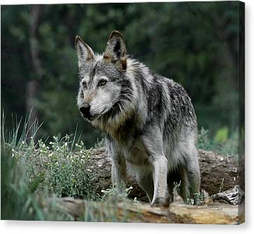 On Alert Canvas Print by Ernie Echols