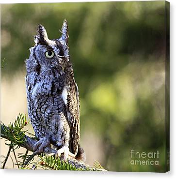 On Alert Majestic Eastern Screech Owl  Canvas Print by Inspired Nature Photography Fine Art Photography