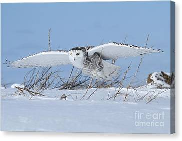 On Patrol Canvas Print by Heather King