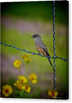 Canvas Print featuring the photograph Say's Phoebe by Britt Runyon