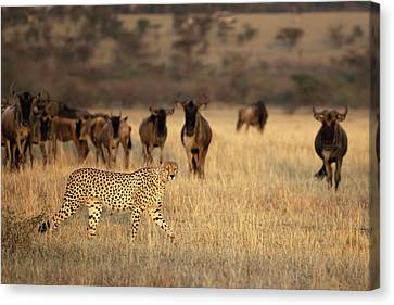 Cheetah Canvas Print - On The Hunt by Renee Doyle