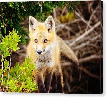 Fox Kit Canvas Print - On The Hunt by Vicki Jauron