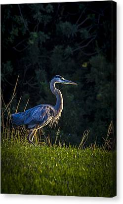 Great Blue Heron Canvas Print - On The March by Marvin Spates