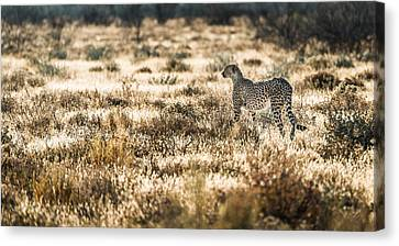 On The Prowl - Cheetah Photograph Canvas Print by Duane Miller