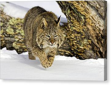 On The Prowl Canvas Print by Jack Milchanowski