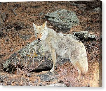 On The Prowl Canvas Print by Shane Bechler