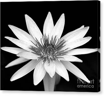 One Black And White Water Lily Canvas Print by Sabrina L Ryan