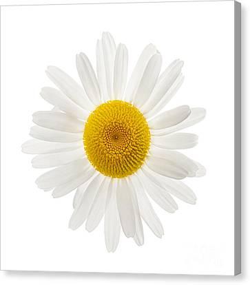 One Daisy Flower Canvas Print