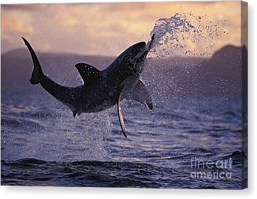 Fish Canvas Print - One Great White Shark Jumping Out Of Ocean In An Attack At Dusk by Brandon Cole
