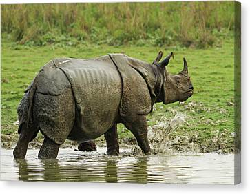 One-horned Rhinoceros, Coming Canvas Print by Jagdeep Rajput