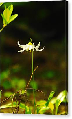 One Lily Almost Alone Canvas Print by Jeff Swan
