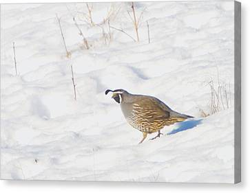 One Little Quail Canvas Print by Jeff Swan