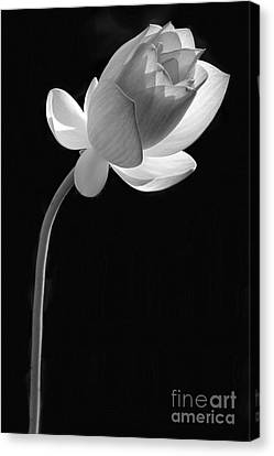 One Lotus Bud Canvas Print