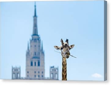 One More Bite To Outgrow The Tallest 2 Canvas Print by Alexander Senin
