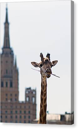 One More Bite To Outgrow The Tallest 4 Canvas Print by Alexander Senin