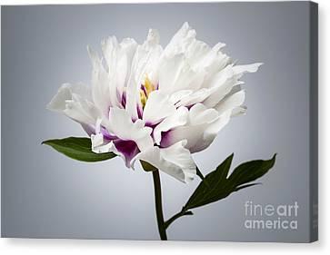 One Peony Flower Canvas Print