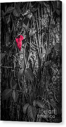 One Red Leaf Canvas Print