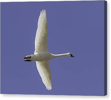 Flying Swan Canvas Print - One Swan by Thomas Young