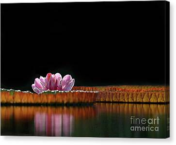 One Water Lily Canvas Print by Sabrina L Ryan