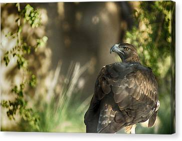 Only An Eagle Can Be As Sharp As An Eagle Canvas Print by Munir El Kadi