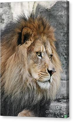 Lion Canvas Print - Onyo #13 by Judy Whitton