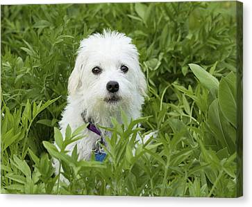 Oops Busted - Cute White Dog Canvas Print by Jane Eleanor Nicholas