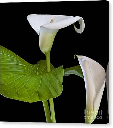 Open White Calla Lily I Canvas Print by Heiko Koehrer-Wagner