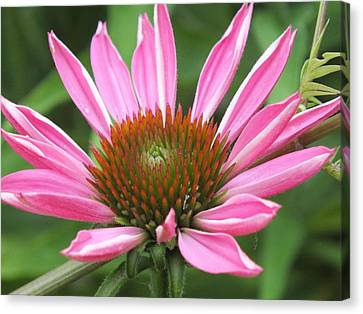 Opening Coneflower Canvas Print by Gene Cyr