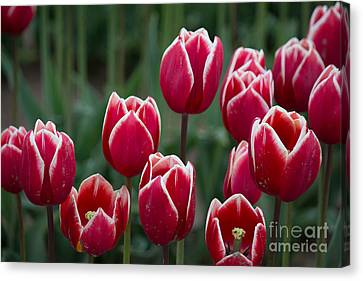 Opening  Canvas Print by Patricia Babbitt