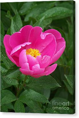 Canvas Print featuring the photograph Peony  by Eunice Miller