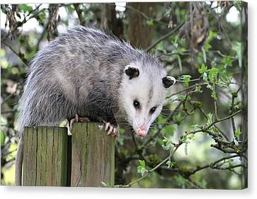 Opossum 2 Canvas Print by Angie Vogel