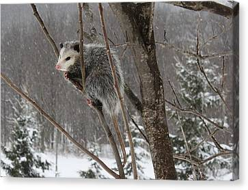Opossum In A Tree Canvas Print by Lucinda VanVleck