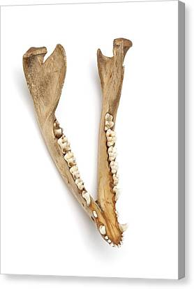 Opossum Jawbone Canvas Print by Ucl, Grant Museum Of Zoology