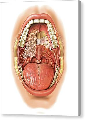 Oral Cavity Canvas Print by Asklepios Medical Atlas