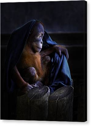 Orang Utan Youngster With Blanket Canvas Print by Peter v Quenter
