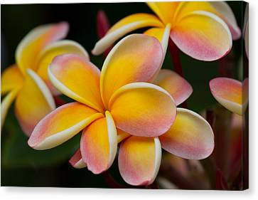 Orange And Pink Plumeria Canvas Print by Roger Mullenhour
