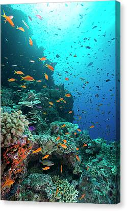 Orange And Purple Anthias On A Reef Canvas Print by Louise Murray