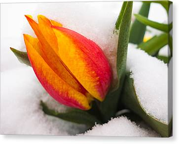 Orange And Red Tulip In The Snow Canvas Print by Matthias Hauser
