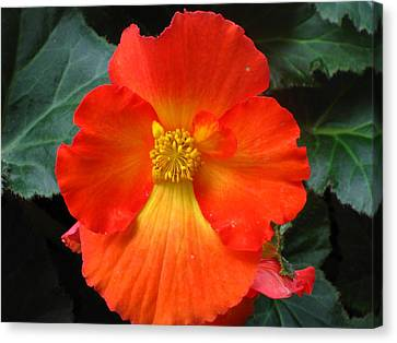 Orange Beauty Canvas Print