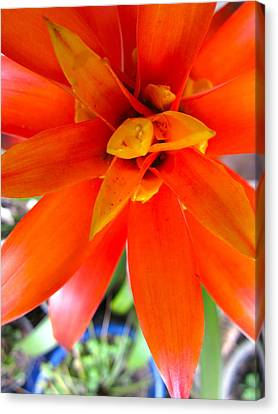 Orange Bromeliad Canvas Print