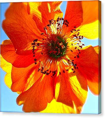 Orange Burst Canvas Print by Tracy Male