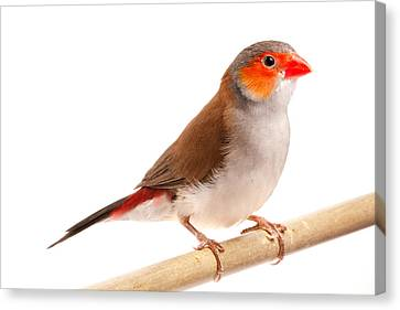 Canvas Print featuring the photograph Orange-cheeked Waxbill Estrilda Melpoda by David Kenny